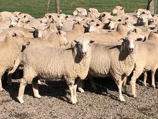 204 SIL Ewes