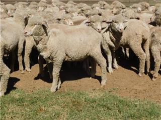 340 Wethers