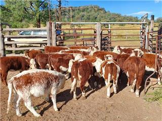 19 Unweaned Heifers
