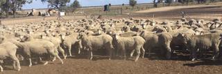 240 SIL Ewes
