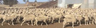 220 SIL Ewes