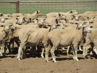 385 Station Mated Ewes