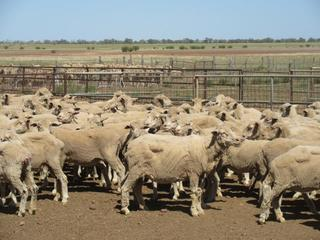 325 Station Mated Ewes