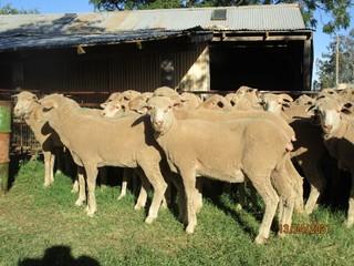 59 Ewes