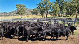 81 Weaned Steers