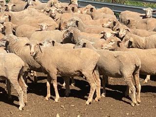 155 SIL Ewes