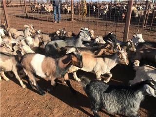 250 Goats - Mixed Sex