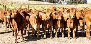 36 PTIC Heifers