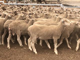 485 SIL Ewes