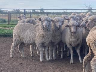 230 Future Breeder Ewe Lambs