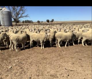 476 SIL Ewes
