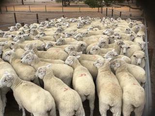 163 Ewes