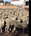 527 Wether Lambs