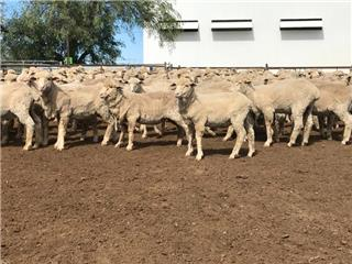 395 Store Wether Lambs