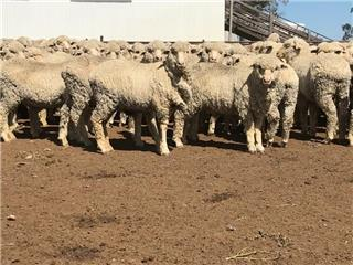 425 Store Wether Lambs
