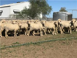 407 Store Wether Lambs