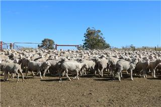 650 Store Wether Lambs