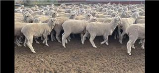 173 Store Wether Lambs