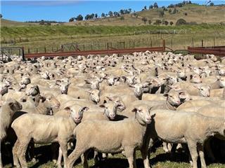 335 Ewe Lambs