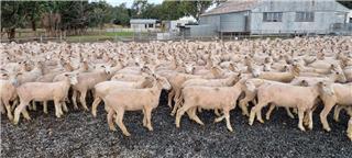 510 Mixed Sex Lambs