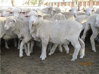 222 Woolgrower Wether Lambs