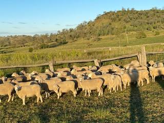 196 SIL Ewes