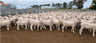 300 Future Breeder Ewe Lambs