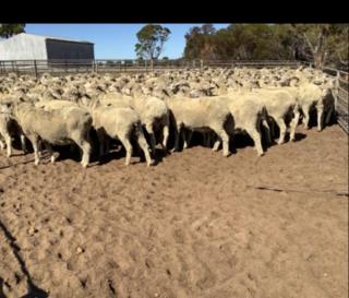 295 SIL Ewes