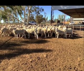 447 SIL Ewes