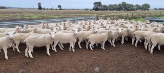 121 SIL Ewes