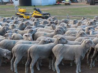 162 Scanned Undetectable Ewes