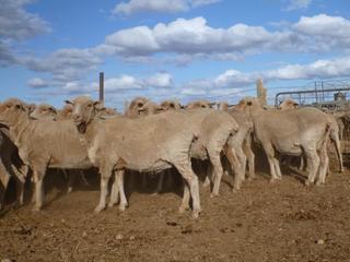 127 Ewes