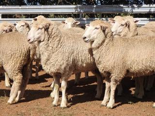 180 NSM Ewe Lambs