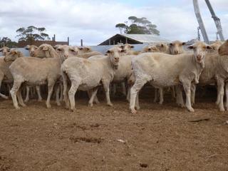 120 Ewes
