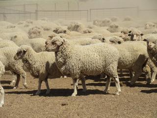 760 NSM Ewes