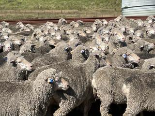 265 NSM Ewes