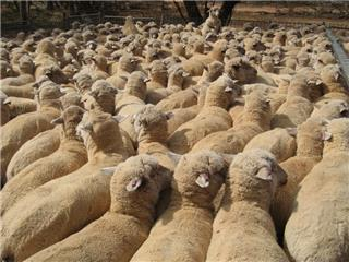 250 Wether Lambs