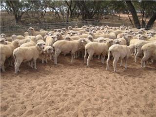 250 Ewe Lambs