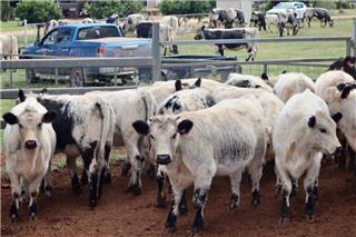 15 Unweaned Heifers