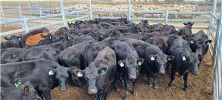44 PTIC Heifers