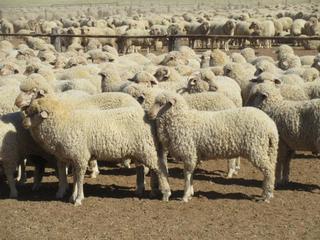 540 Mixed Sex Store Lambs