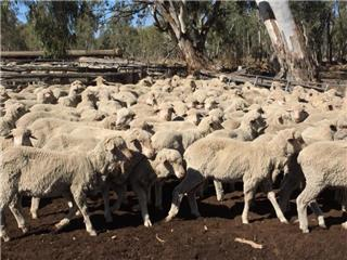 198 Store Wether Lambs