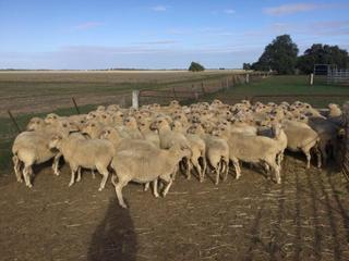 83 SIL Ewes