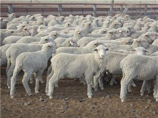 245 Store Wether Lambs
