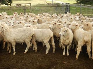 132 Future Breeder Ewe Lambs