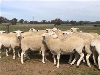 22 Future Breeder Ewe Lambs