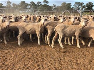 172 Future Breeder Ewe Lambs