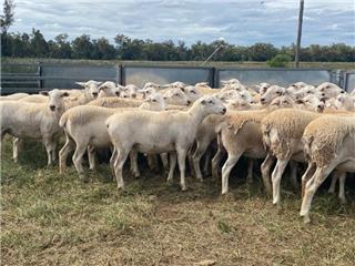 60 Future Breeder Ewe Lambs