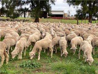 640 Wether Lambs