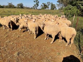 44 SIL Ewes